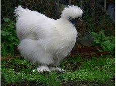 Silkie - Wikipedia White Chicken