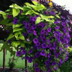 Purple Flowers On A Vine - beautiful climbing flowering vine gardening flowers
