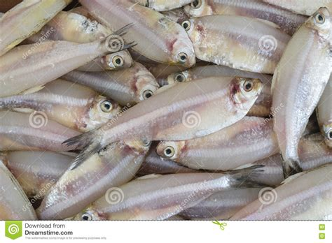Termurah Fish All Ph Up indian anchovy or kozhuva netholi stock photo image 82528499