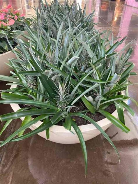 grow  pineapple indoors gardening channel