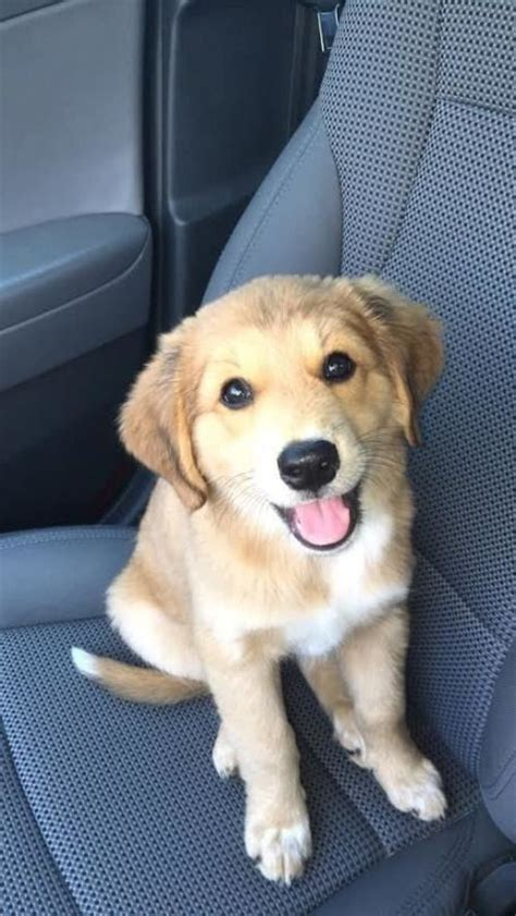 coyote golden retriever mix golden retriever coyote mix www imgkid the image kid has it