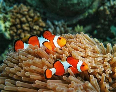cantiknya ikan nemo  bawah laut desa pemuteran bali