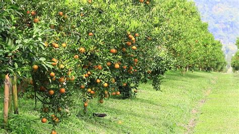 free fruit trees los angeles orange tree with fruits in los angeles california stock