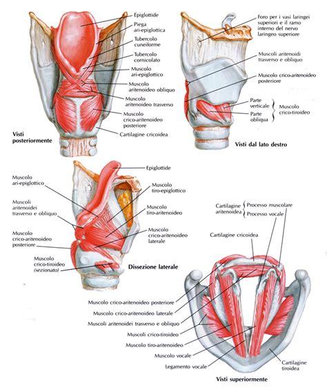 muscolo obliquo interno muscolo aritenoideo obliquo medicinapertutti it