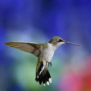 Bird Wallpapers colibri bird 1024x1024 188874