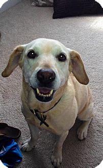 puppies for adoption charleston sc charleston sc labrador retriever mix meet a for adoption
