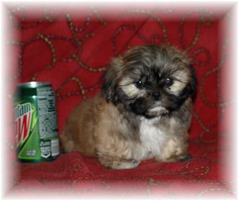 maltese shih tzu newborn puppies shih tzu puppies pictures 20649 wallpapers newborn free hd shihtzu