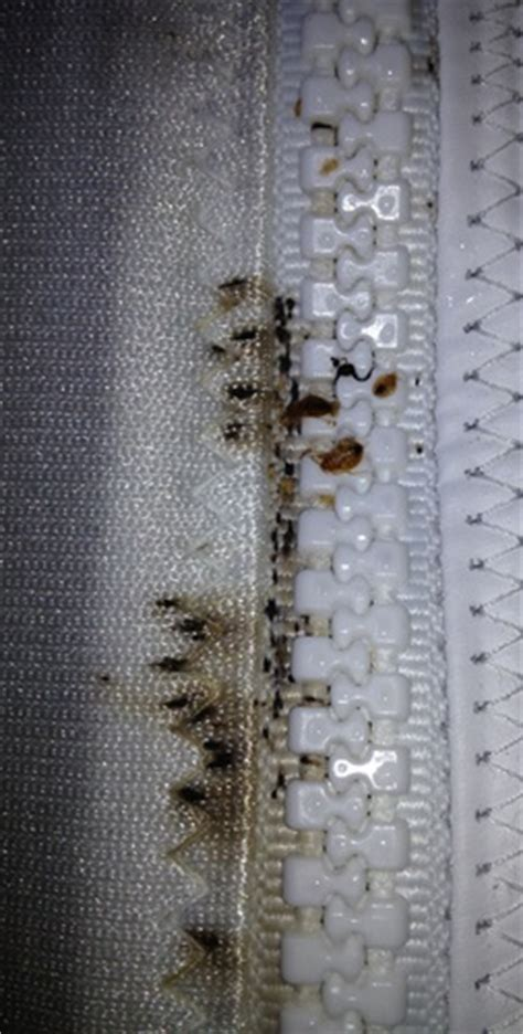 Bed Bugs Milwaukee by Milwaukee Bed Bug Tips Identifying Bed Bugs