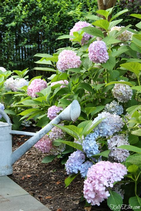 endless summer hydrangeas the reblooming hydrangea