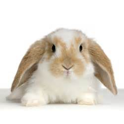 valentine special holland lop rabbit that will win her