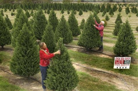 best nc christmas tree farm best 28 tree farms in houston tree farm maternity camille brian motley