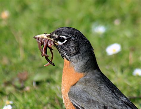 what do american robin bird eat file turdus migratorius with worms 1 jpg