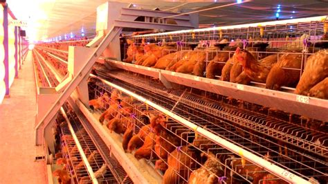 Bibit Ayam Petelur Jawa Timur petenakan ayam petelur sistem closed house