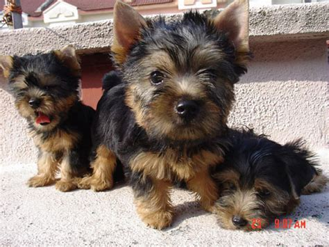 silky terrier puppies malaysia and puppy portal commercial puppies for sale local australian