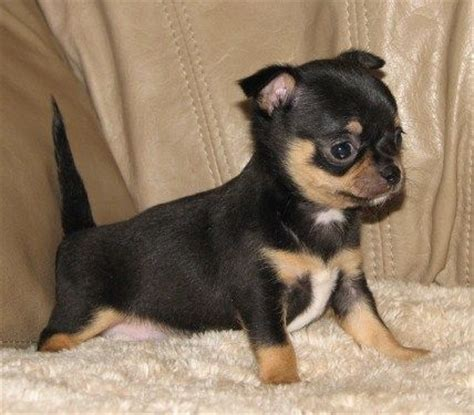 black chihuahua puppies pin by robin lineal on lineals chihuahuas past present and puppies