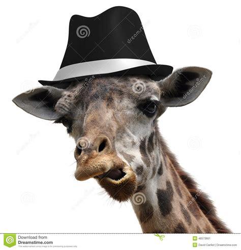 Giraffe Hat Meme - silly giraffe wearing a fedora and making an unusual face