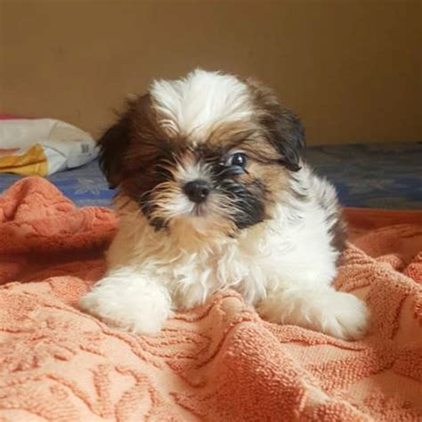 shih tzu puppies  sale