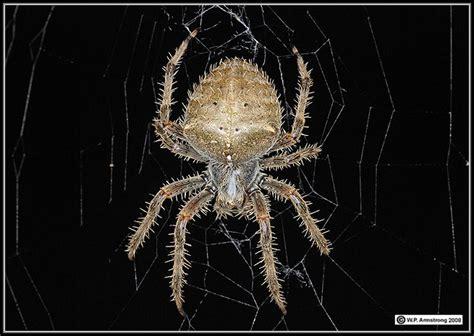Garden Spider San Diego Orb Weaver Spider San Diego Images