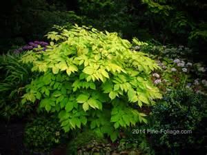 plant foliage aralia c sun king foliage