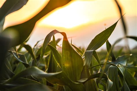 stock photo  agriculture cereals corn