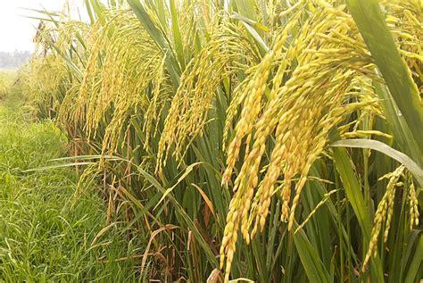 Bibit Padi sertani 1 msp 1 bibit pertanian unggul