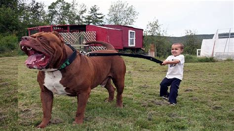 imagenes animales grandes los perros mas grandes del mundo biggest dog 2017 youtube