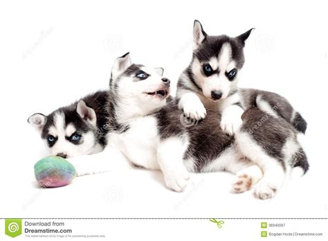 playful puppy playful puppy dogs royalty free stock photography image 36940097