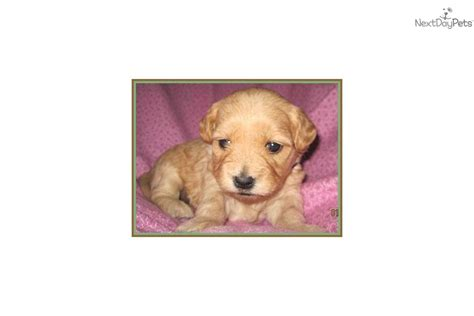 mini goldendoodles kansas city goldendoodle puppy for sale near kansas city missouri