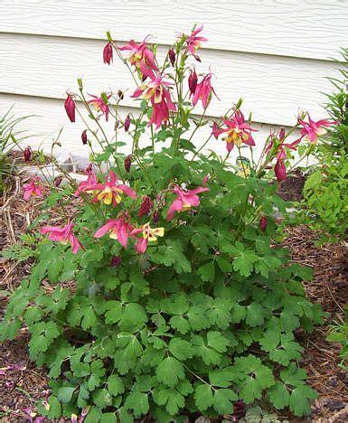 columbine garden vole mole resistant plants pinterest perennials purple perennials and