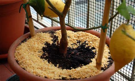 concime agrumi in vaso l orto sul balcone e l orto nel co marzo agrumi i