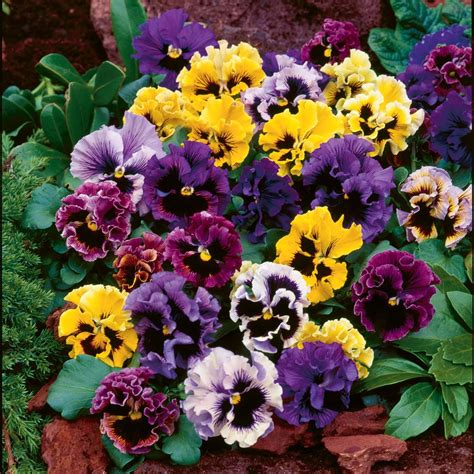 Mr Fothergills Pansy Frou Frou Mixed winter pansies