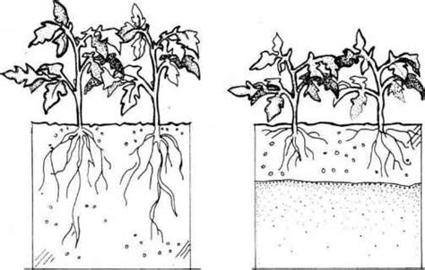 vegetable root depth root vegetables chart images