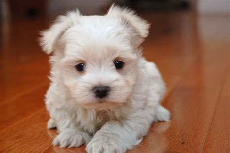 yorkie maltese mix puppies for sale in maryland shih tzu puppies for sale shih tzu maltese yorkie puppy breeds picture