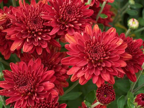 image gallery nasa chrysanthemum air red mums common garden chrysanthemum dartmouth house