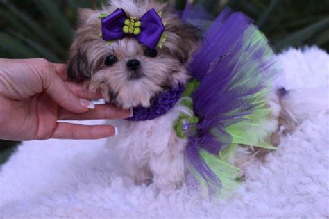shih tzu imperial for sale imperial shih tzu puppies for sale imperial shih tzu