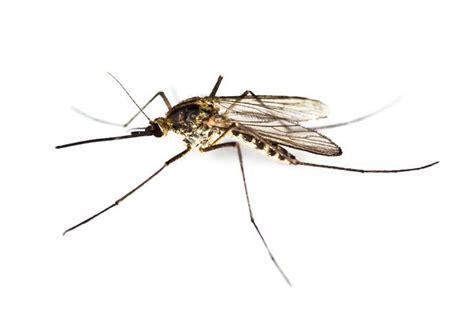 come eliminare le zanzare in casa come eliminare zanzare tigre da casa e giardino rimedi