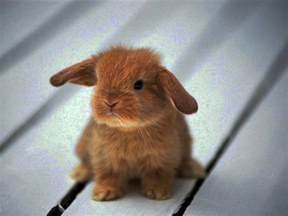 pictures of lop eared rabbits part 1 cute pictures