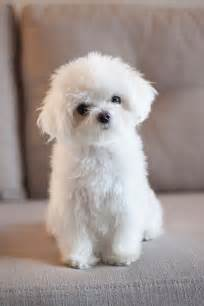 Small Dogs Free To Home Barnsley 25 Best Ideas About White Puppies On