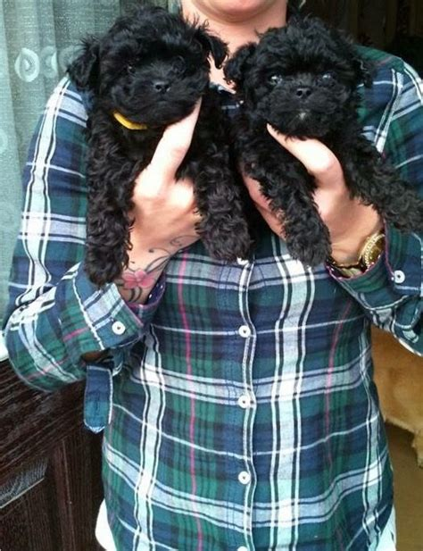 poodle x pug 1 black boys left adorable miniature poodle x pug bristol bristol pets4homes