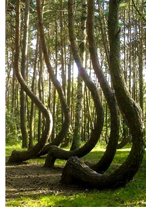 poland s cool crooked forest index of wp content uploads 2012 01