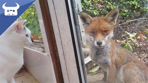 is a fox a or cat me and my cats meet a fox real disney moment
