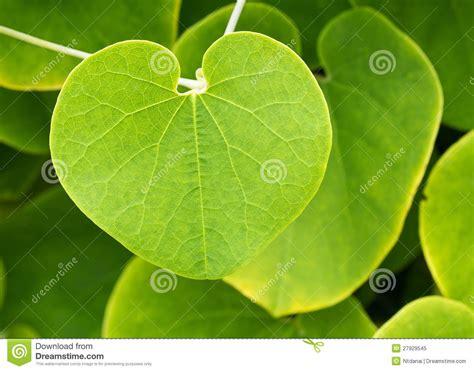 hojas de hierba hoja de la planta de la enredadera foto de archivo libre de regal 237 as imagen 27929545