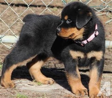 rottweiler puppies for sale in sacramento blocky heads akc rottweiler puppies dew claws removed for sale in sacramento