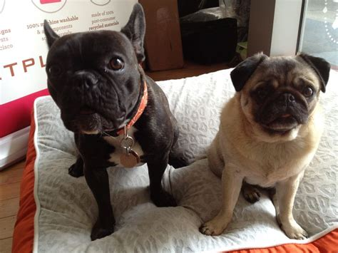 pug and frenchie frenchie and pug friends pugs
