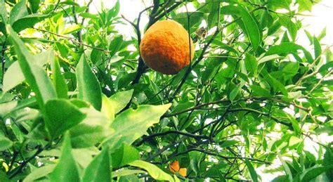 kumquat tree not bearing fruit boston found citrus in new
