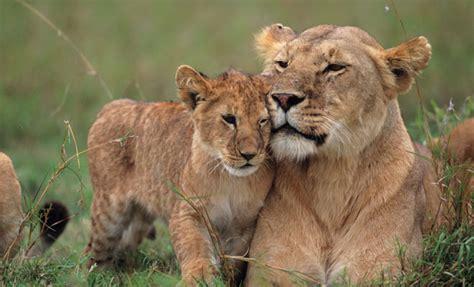 imagenes animales feroces los sue 241 os con animales salvajes y su significado