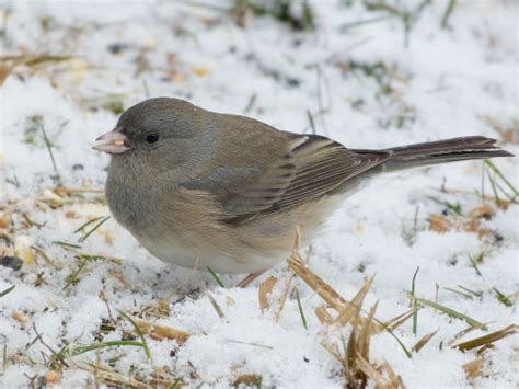 slate colored junco eyed junco slate colored on a snowy day feederwatch