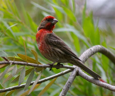 picture of house finch finch bird