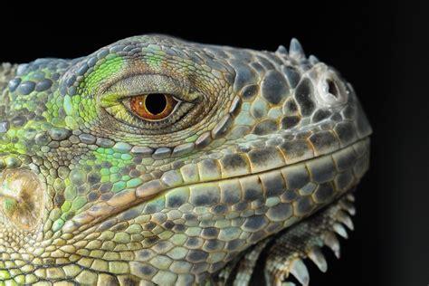 imagenes ojos de reptiles papel de parede de lagarto iguana r 233 ptil drag 227 o olhos