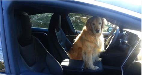 golden retriever driving car shows self driving car leave driveway with the wheel daily
